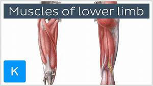 Muscles Of The Lower Limb  Preview