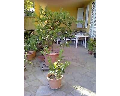 piante di limoni in vaso piante di limoni in vaso a viarigi kijiji annunci di ebay