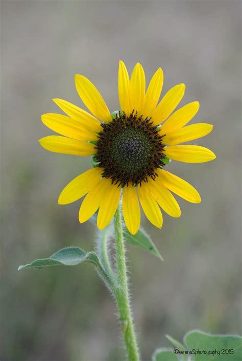 sunflowers verenasphotography