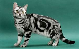 Top 10 Best Selling Cat Breeds in America 2017 Top 10 List