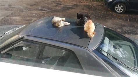 Kaķis nav tikai mīlulis un draugs, viņš var būt arī ...