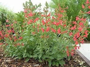 Stachys Coccinea Scarlet Hedgenettle Hummingbird