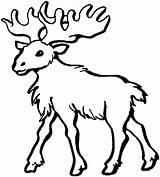 Moose Colorir Alce Desenhos Coloring Imprimir Ausmalbilder Hirsch Malvorlagen Alces Tiere Dickem Fell Head Drawing Elch Desenho Pintar Animais Malvorlage sketch template