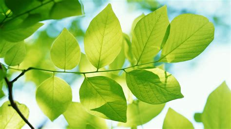Green Leaves Wallpapers   HD Wallpapers   ID #5527