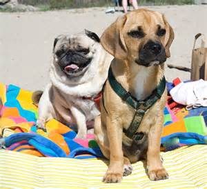 puggle breed information pictures characteristics facts dogtime