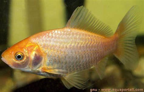 poissons d aquarium d 233 finition et explications