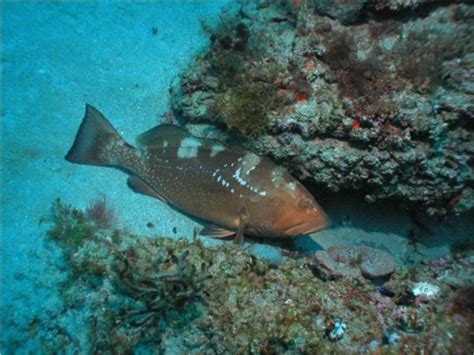 grouper habitat fishing under rock fish holds surefire tactics summer tips