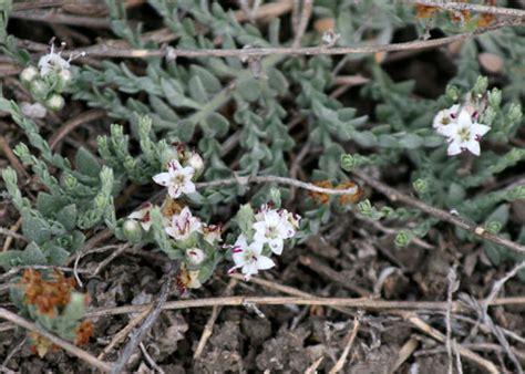Alkali Weed, Cressa truxillensis