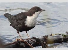 National Bird Of Norway White Throated Dipper