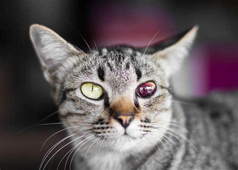 are cats color blind blind blood tabby stock photo image of blindness