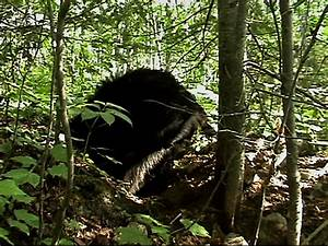 North American Bear Center - Hibernation