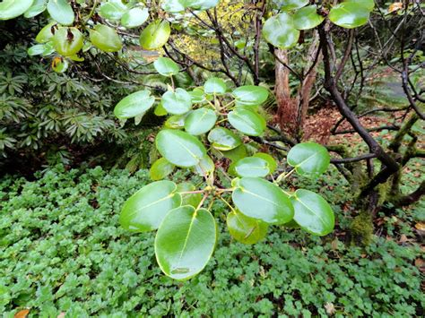 rhododendron species foundation danger garden the rhododendron species foundation botanic garden itself