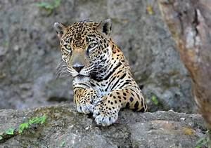 Costa Rica Jaguars Eating Sea Turtles | The Costa Rican Times