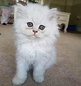 White chinchilla Persian kitten for sale | Paignton, Devon ...
