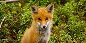 Red Fox (Vulpes vulpes). Part II. | PARENTS ALLIANCE OF ...  Fox