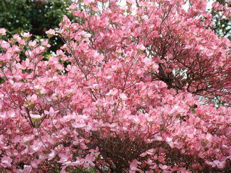 pink flowering trees pink flowering trees bing images