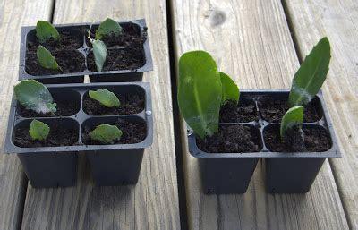 rooting leaf cuttings  sedums growing  home garden