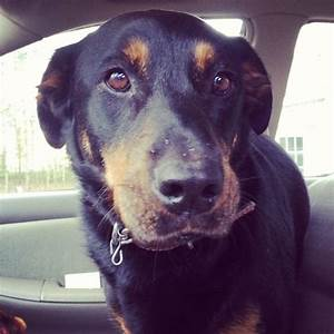 Rottweiler Lab mix. Reminds me of my old dog, Leo. R.I.P ...