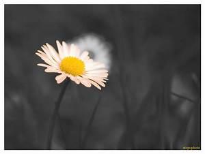 Badematte Schwarz Weiß : schwarz wei g nse blume foto bild natur makros natur kreativ aufnahmetechniken bilder auf ~ Markanthonyermac.com Haus und Dekorationen
