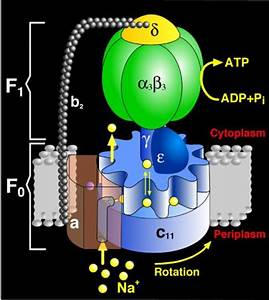 The Structure Of Atp Synthase  The Universal Protein That
