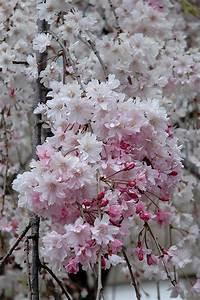 pink weeping higan cherry prunus subhirtella