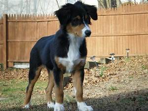 Tricolor Australian Shepard puppy. I want this in my arms ...