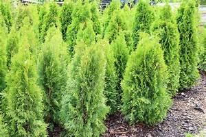 Wann Schneidet Man Thuja : thuja schneiden wann lebensbaum thuja thuja in arten ~ Lizthompson.info Haus und Dekorationen