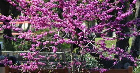 practical spring flowering trees redbud  glorious