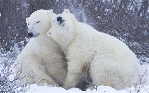Cool Desktop Wallpaper Of Family Of Polar Bears, Photo Of