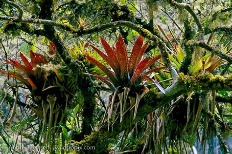 Bromeliads (bromeliaceae) On Mosscovered Tree In Montane