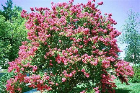 pink flowering bush 35 dark pink crepe myrtle lagerstroemia flowering shrub bush small tree seeds 171 lawn nation