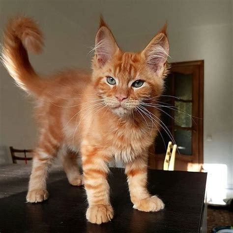 ginger cat  pointy ears luvbat