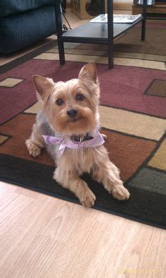 Do Yorkie Poos Shed Hair by Yorkie Chang E 3 And Ears On