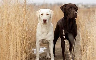 Labrador Dogs Wallpapers 4k Desktop