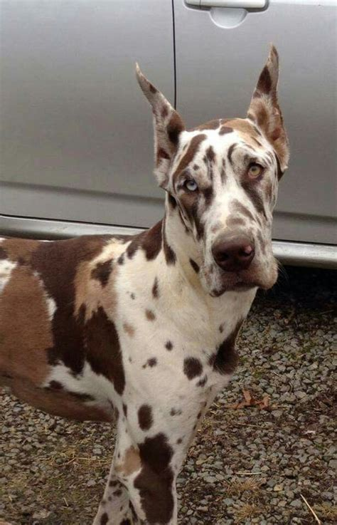 great dane colors 25 best ideas about harlequin great danes on