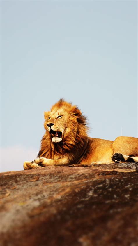 wallpaper lion  serengeti national park