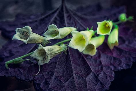 Foxglove Digitalis From Witches Thimbles To Witchs Hats