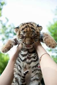 "Cute Emergency on Twitter: ""uh... cutest baby tiger ever ..."