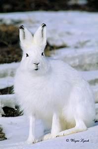 Arctic Hare | Artic Animals | Pinterest