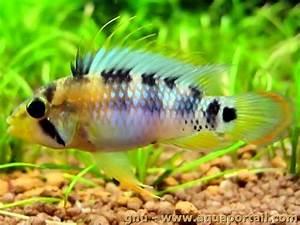 Apistogramma Baenschi | www.imgkid.com - The Image Kid Has It!