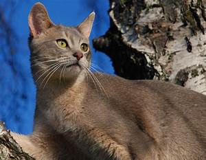 Free Animal Wallpaper: Abyssinian Cat Pictures