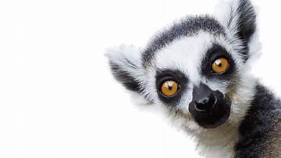 Zoo Animals Animated Lemurs London Giphy Zsl