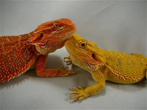 what kind of heat l for bearded dragon bearded dragon color chart