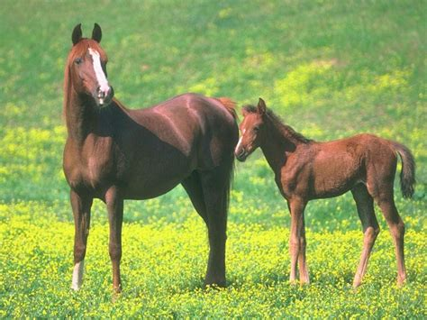 horses animals mom domestic foal mother animal brownhorse young dirlist caballus equus