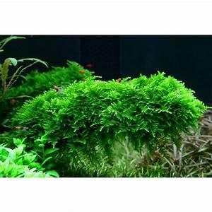 Moos Für Aquarium : wasserpflanzen einpflanzen aquascaping wiki ~ Frokenaadalensverden.com Haus und Dekorationen