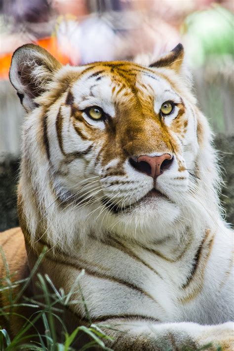photographer chasen west beautiful bengal tiger from