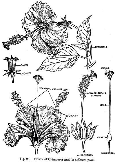 List Few Common Flowers Botany