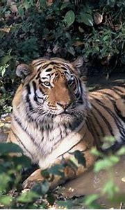 Rare Video of Amur Tiger Family   3BL Media