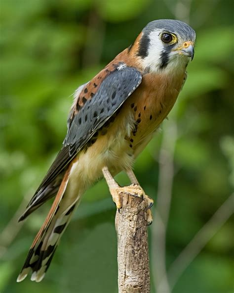 American Kestrel  Wikipedia. South Carolina Licensing Board For General Contractors. Technical Training Courses Buying Ford Stock. Legal Document Translation Services. Cisco Office Phone Systems Forex Live Account. Penn State Cheerleading Memphis Car Insurance. American Home Life Insurance. Suburban Law Enforcement Academy. How To Increase Productivity In Manufacturing