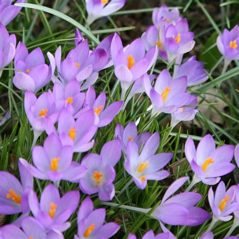 buy early crocus bulbs crocus tommasinianus delivery by